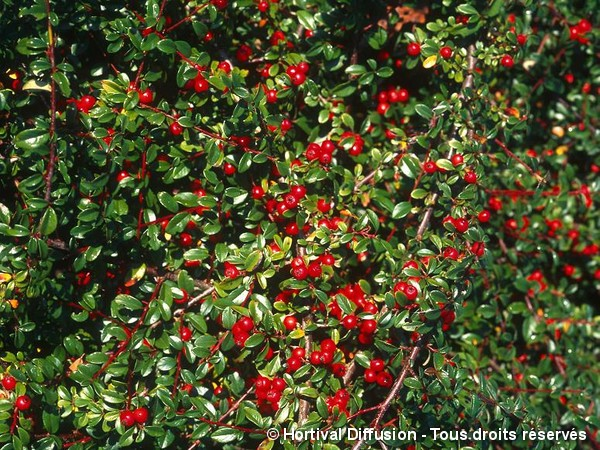 Cotoneaster rampant Coral Beauty
