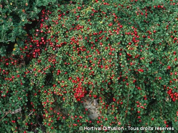 Cotoneaster à petites feuilles Streib's Findling
