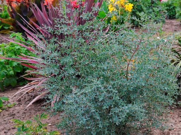 Eucalyptus de Gunn FRANCE BLEU®, gommier