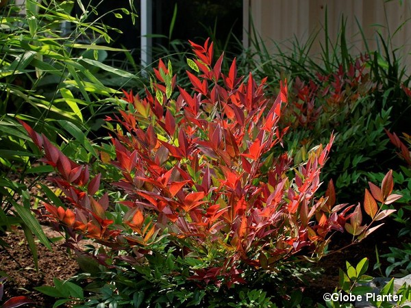 Bambou sacré Obsessed, nandina