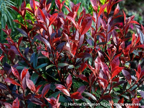 Photinia de Fraser Carré rouge