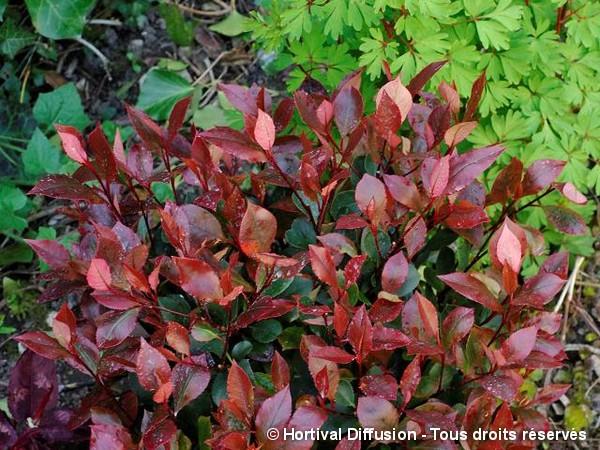 Photinia hybride Little Red Robin