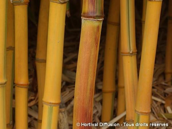 Bambou aureosulcata spectabilis