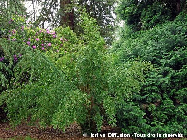 Bambou flexuosa