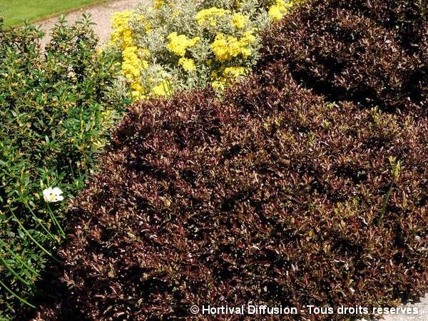 Pittosporum à petites feuilles Tom Thumb