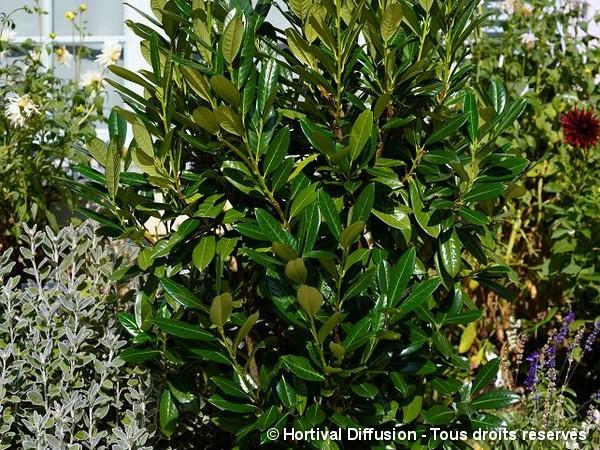 Laurier-cerise Greentorch, laurier-amande ou laurier-palme