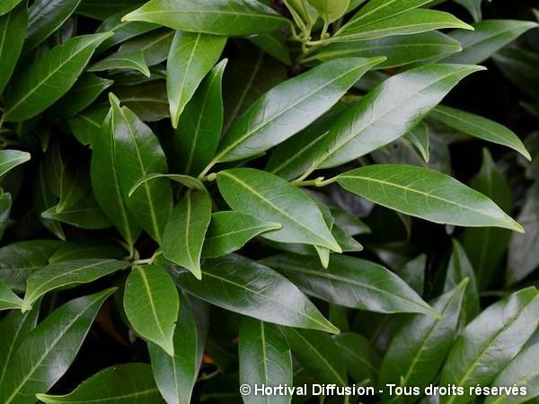 Laurier-cerise de Herberg, laurier-amande ou laurier-palme