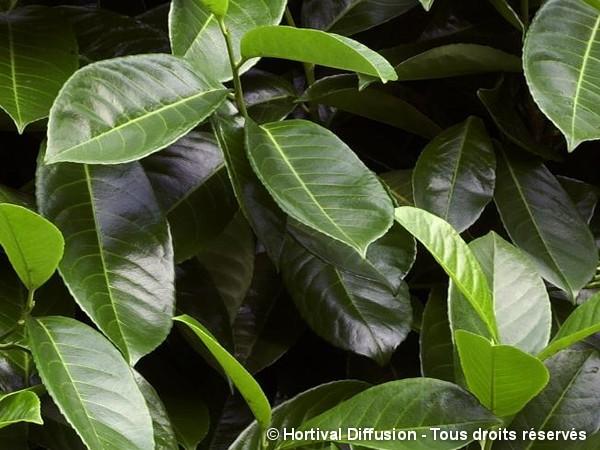 Laurier-cerise à feuilles rondes, laurier-amande ou laurier-palme