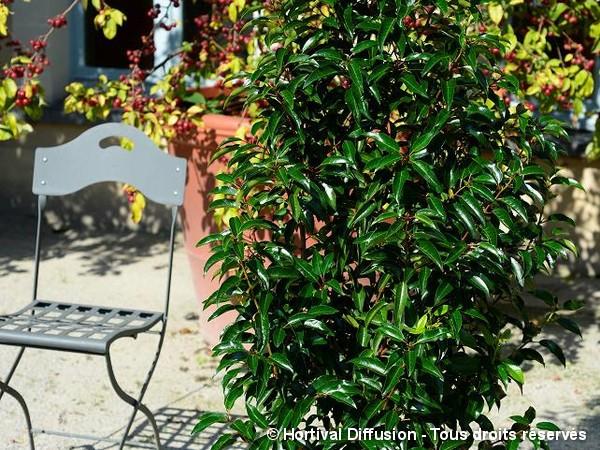 Laurier du Portugal à feuilles de Myrte