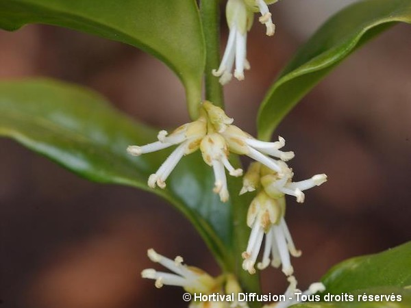 Sarcococca confus