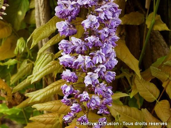 Glycine du Japon Violacea Plena = Black Dragon