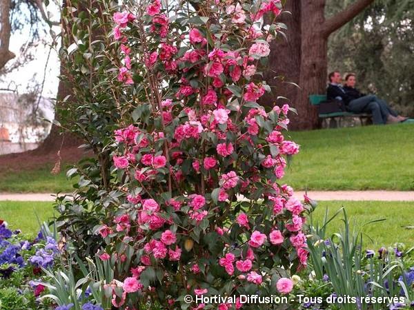 Camélia hybride Spring Festival