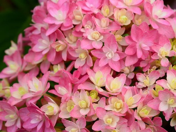 Hortensia STELLAR® Rose