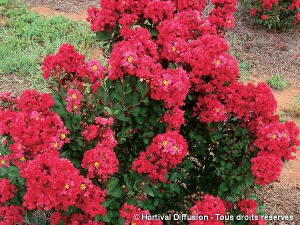 Lilas des indes ENDURING® RED, Lilas d'été