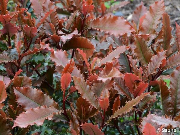 Photinia à feuilles dentées CRUNCHY®