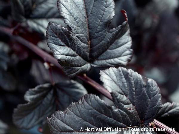 Physocarpus à feuilles d'obier BLACK LIGHT®