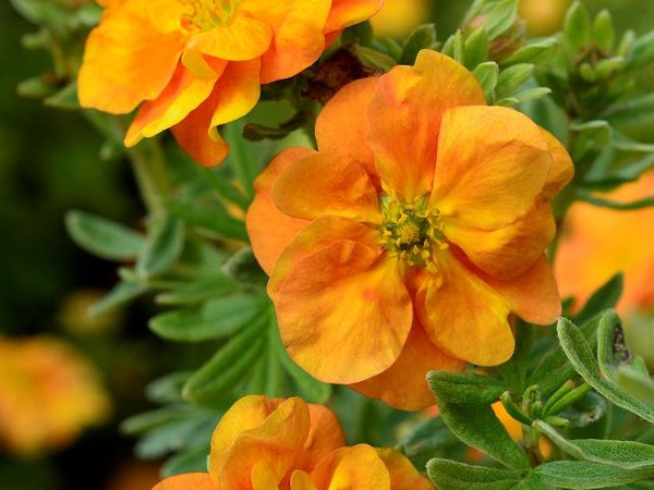 Potentille arbustive DOUBLE PUNCH® TANGO