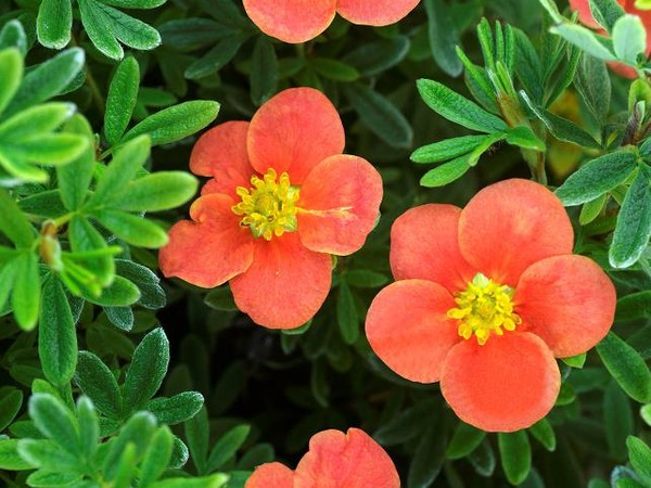 Potentille arbustive RED'ISSIMA®