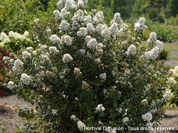 Lilas des indes ENDURING® WHITE, Lilas d'été