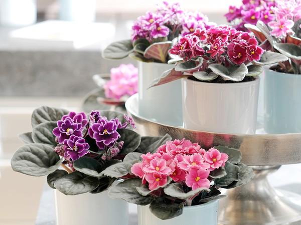 Violette africaine - Violette du Cap
