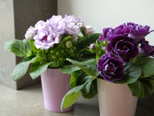Le gloxinia des fleuristes