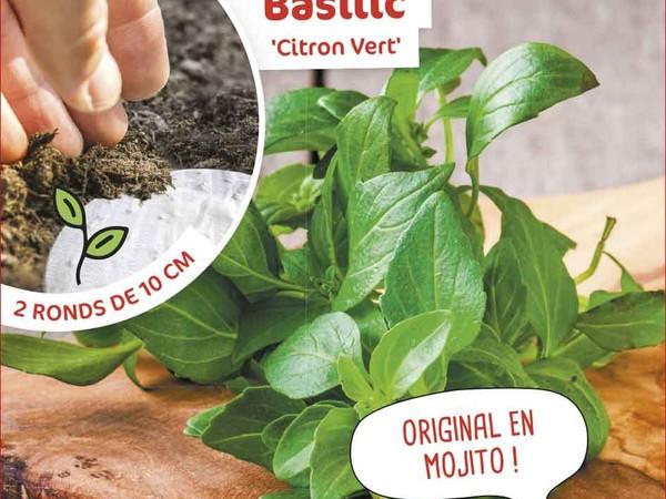 Basilic Citron vert