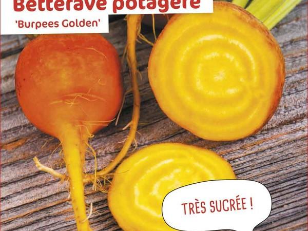 Betterave potagère Burpees Golden