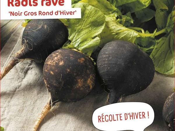 Radis rave Noir Gros Rond d'Hiver