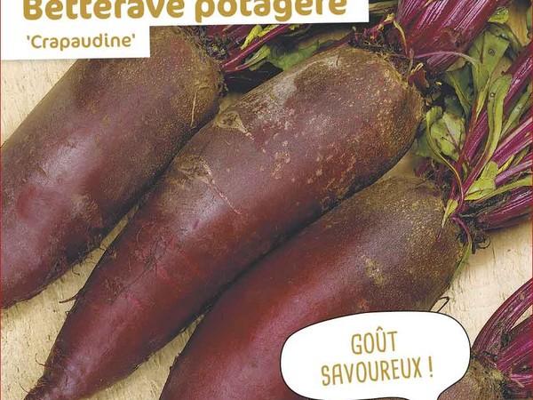 Betterave potagère Crapaudine