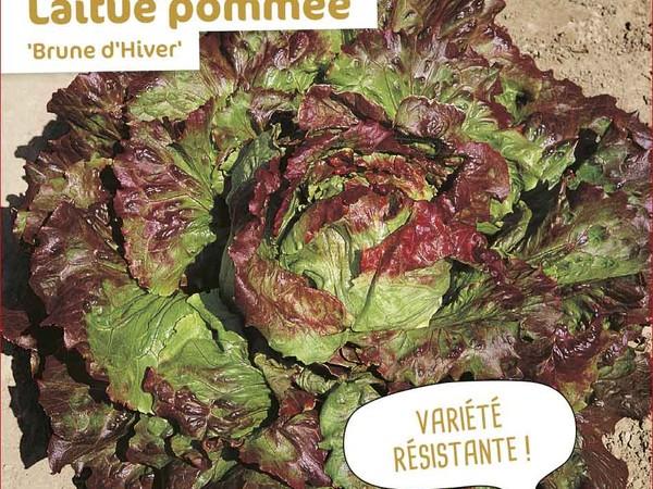 Laitue pommée Brune d'Hiver