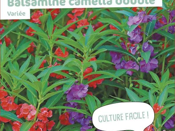 Balsamine camélia double Variée