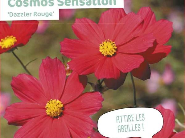 Cosmos Sensation Dazzler Rouge