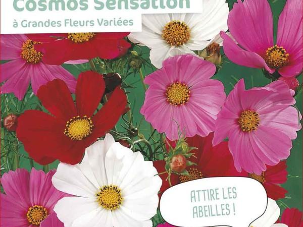 Cosmos Sensation à Grandes Fleurs Variées