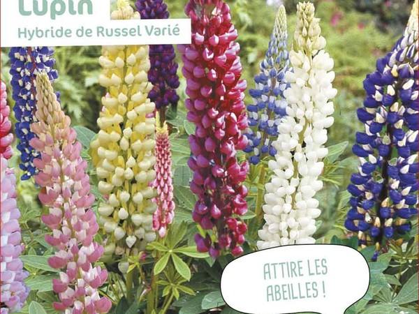 Lupin Hybride de Russel Varié