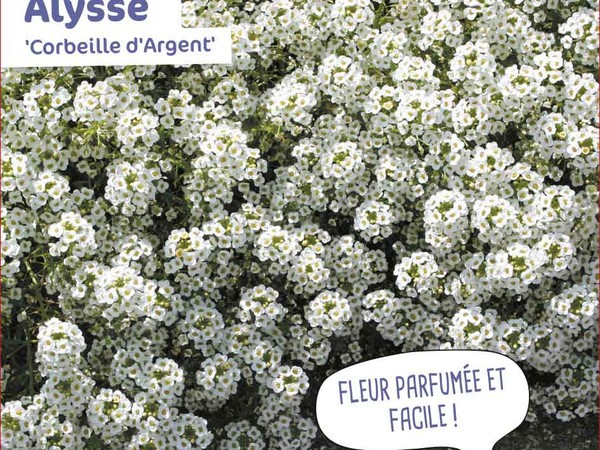 Alysse  Corbeille d'Argent