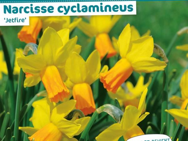 Narcisse cyclamineus Jetfire