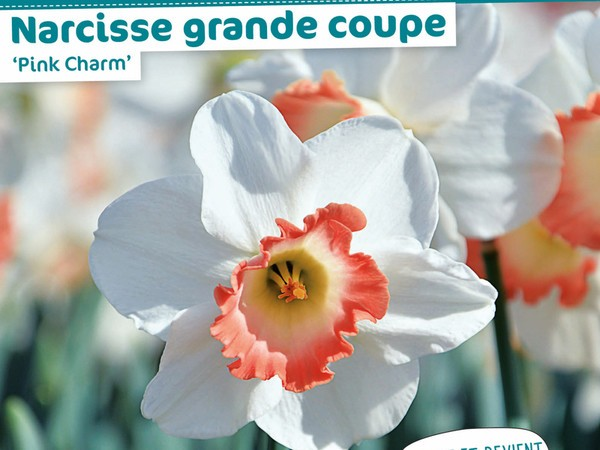 Narcisse grande coupe 'Pink Charm'