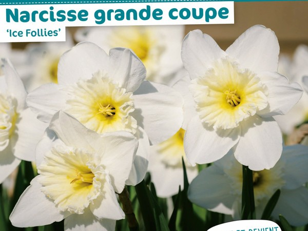 Narcisse grande coupe 'Ice Follies'