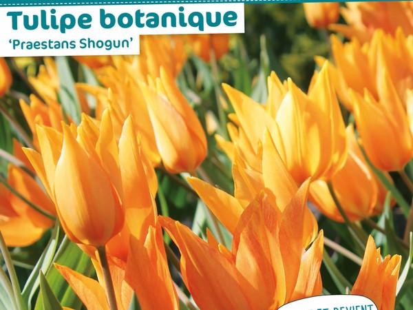 Tulipe botanique 'Praestans Shogun'