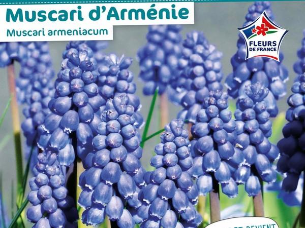 Muscari d'Arménie Muscari armeniacum