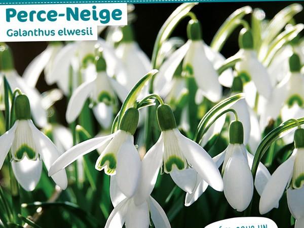 Perce-neige Galanthus elwesii