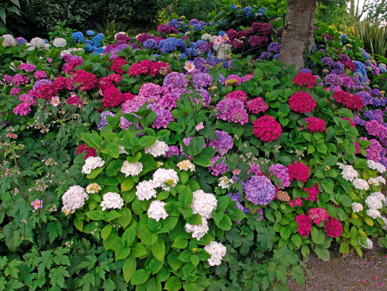 pourquoi les hortensias changent de couleur