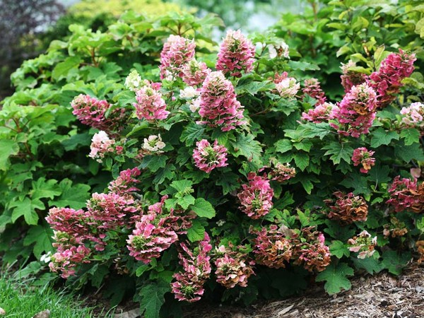 Hortensia à feuilles de chêne 'Ruby Slippers'