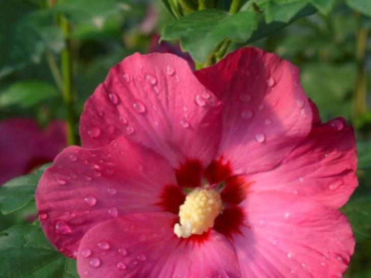teinture végétale fleur hibiscus