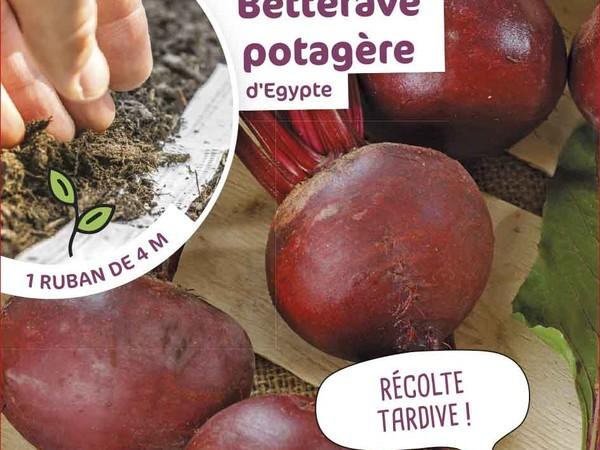 Betterave potagère d'Egypte présemée