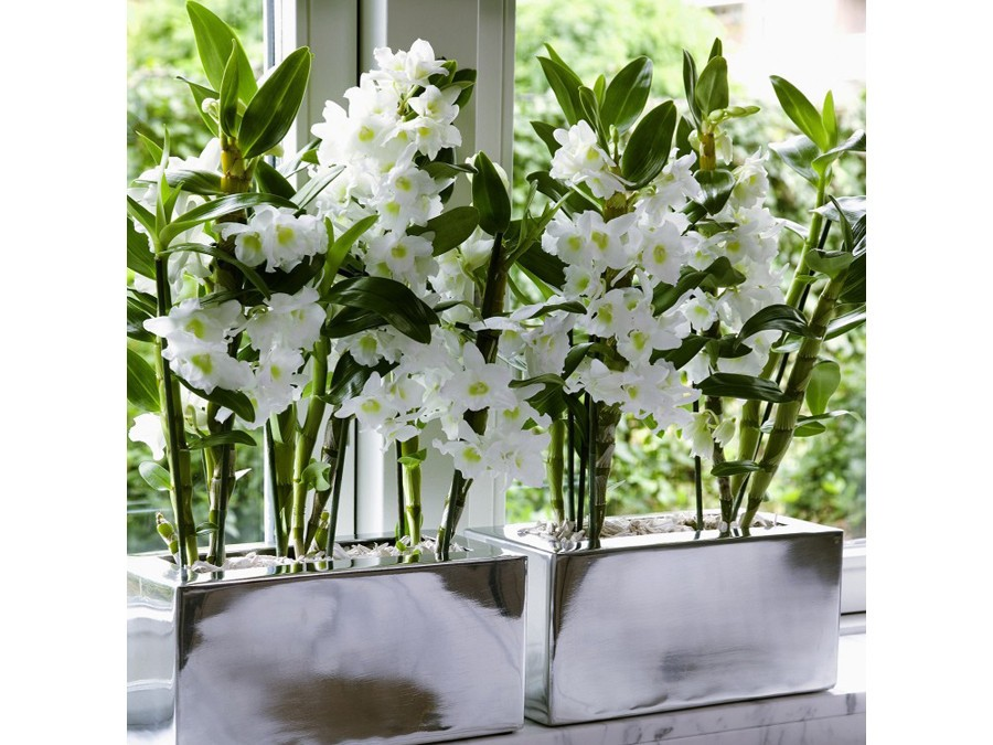 Orchide bambou