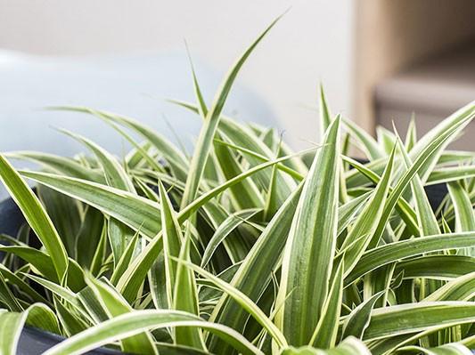 Chlorophytum-comosum.JPG