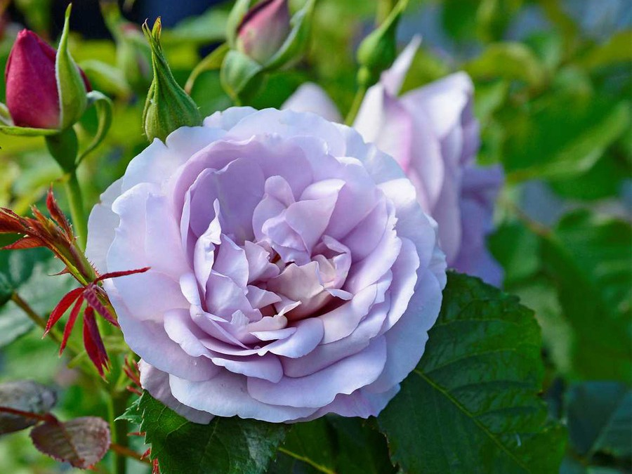 ROSE LADY PERFUME