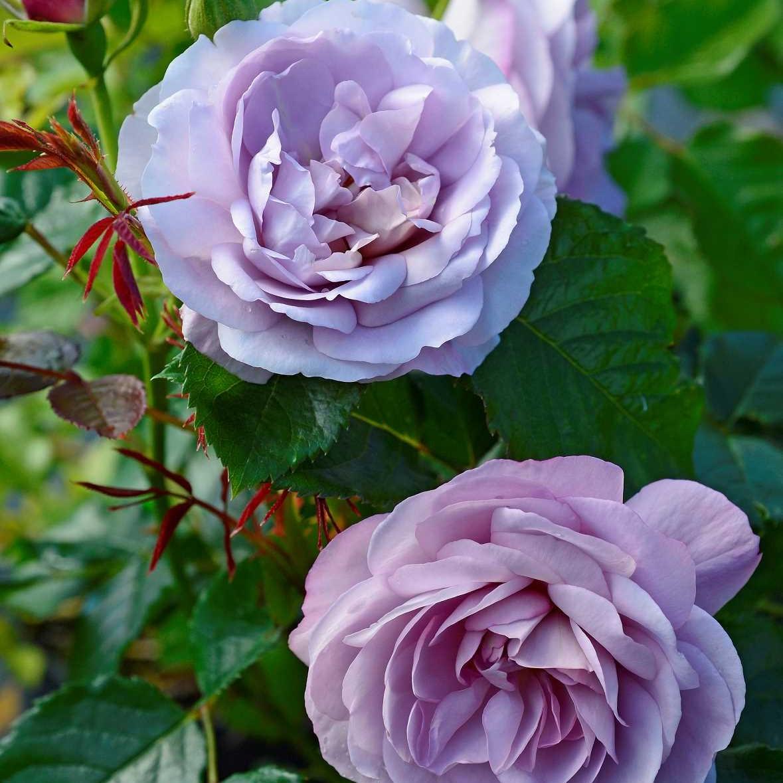 ROSA LADY PERFUME® 'Wekpeawby'