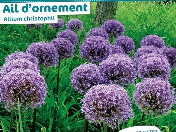 Ail d'ornement Allium christophii